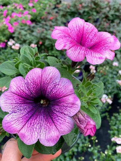 buitenplanten-perkplanten-tuinplanten-vaste-planten-tuingroen-stadskanaal-7