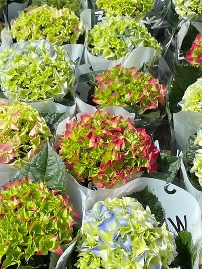 bloeiende-kamerplanten-tuingroen-stadskanaal-tuincentrum-6