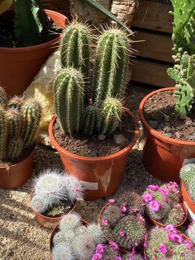 cactus-kamerplanten-afdeling-tuingroen-stadskanaal-tuincentrum-1