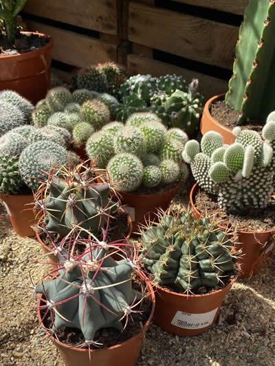 cactus-kamerplanten-afdeling-tuingroen-stadskanaal-tuincentrum-2