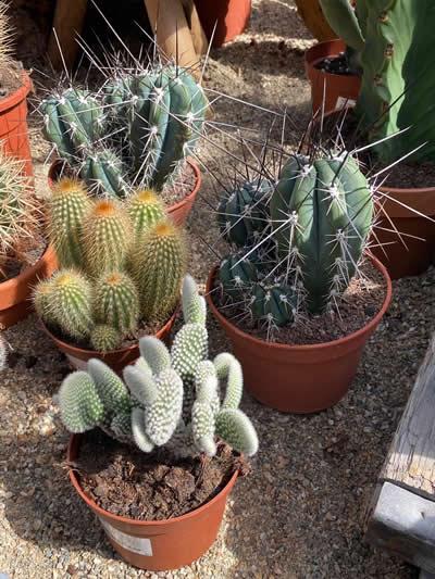 cactus-kamerplanten-afdeling-tuingroen-stadskanaal-tuincentrum-3
