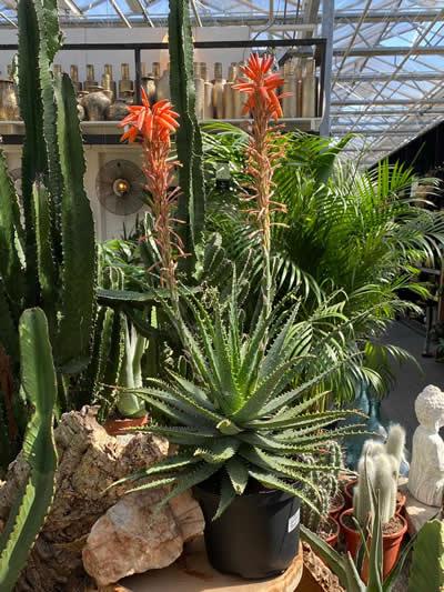 cactus-kamerplanten-afdeling-tuingroen-stadskanaal-tuincentrum-4
