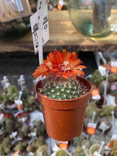 cactus-kamerplanten-afdeling-tuingroen-stadskanaal-tuincentrum-5
