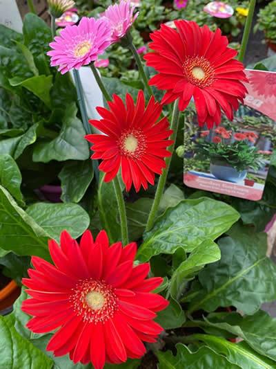 eenjarige-planten-afdeling-tuingroen-stadskanaal-tuincetrum-4