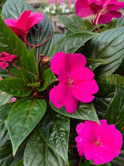 eenjarige-planten-afdeling-tuingroen-stadskanaal-tuincetrum-5