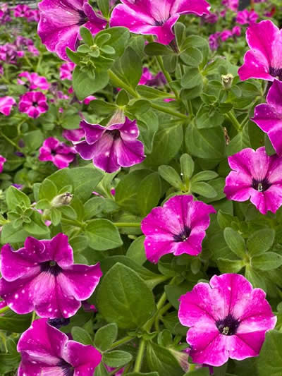 eenjarige-planten-afdeling-tuingroen-stadskanaal-tuincetrum-6