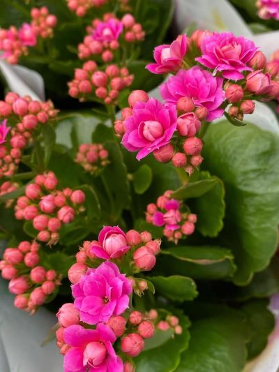 bloeiende-kamerplanten-10