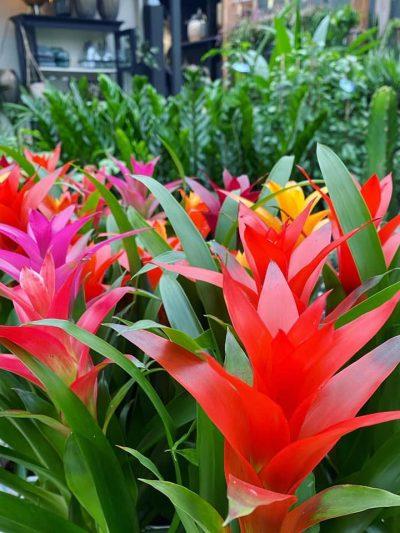 bloeiende-kamerplanten-2