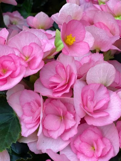 bloeiende-kamerplanten-4