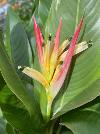 bloeiende-kamerplanten-8