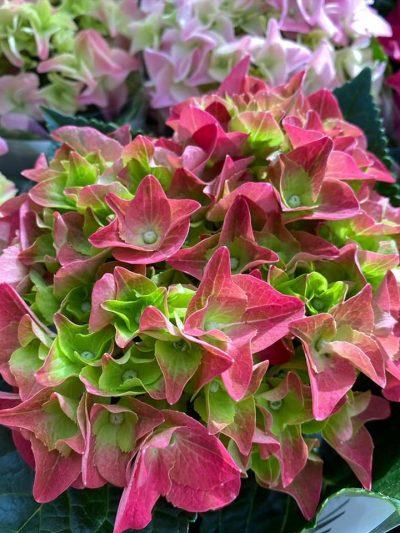 bloeiende-kamerplanten-9