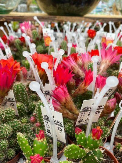 tuingroen-stadskanaal-cactussen-014