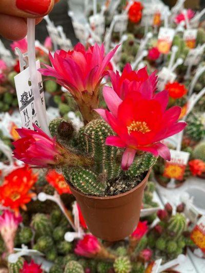 tuingroen-stadskanaal-cactussen-015