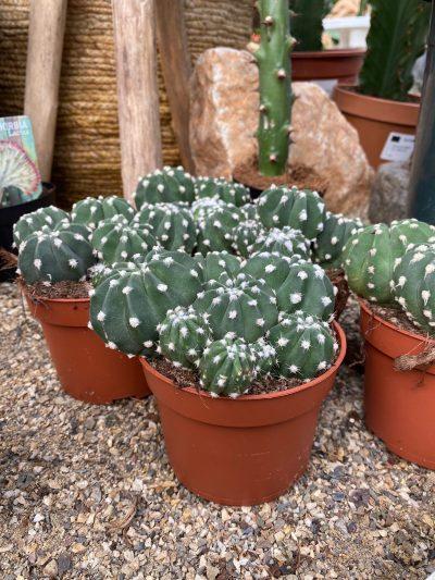 tuingroen-stadskanaal-cactussen-02