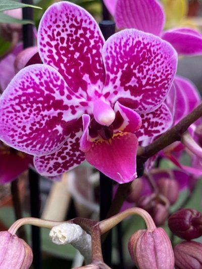 tuingroen-stadskanaal-orchidee-10