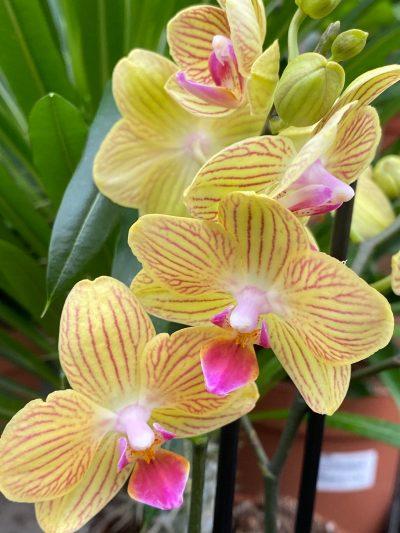 tuingroen-stadskanaal-orchidee-11