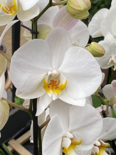 tuingroen-stadskanaal-orchidee-3