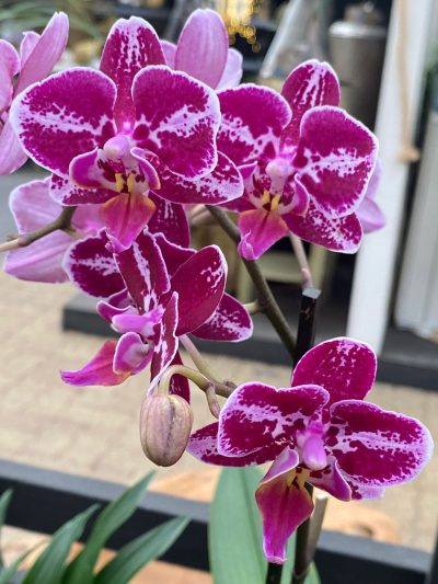 tuingroen-stadskanaal-orchidee-6