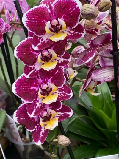 tuingroen-stadskanaal-orchidee-8