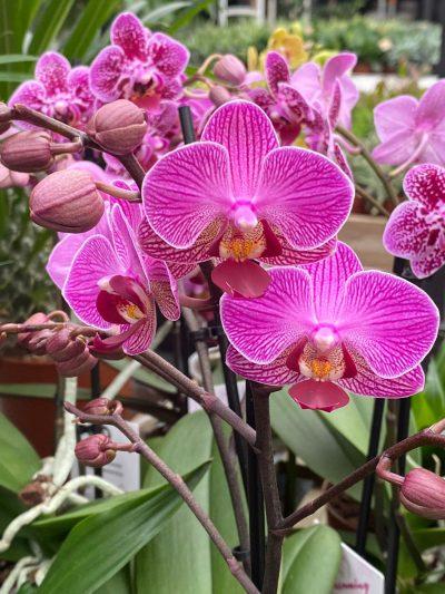 tuingroen-stadskanaal-orchidee-9
